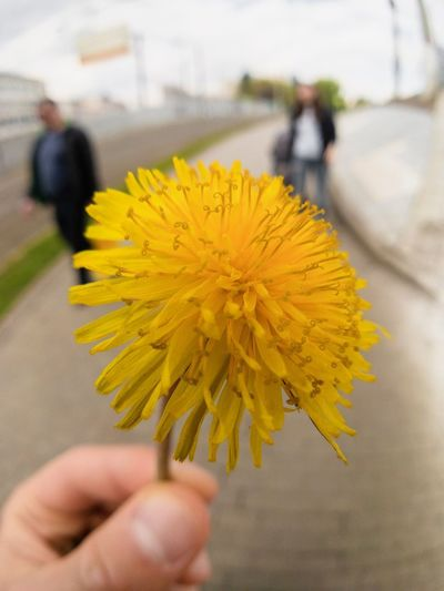 Flower Yellow Flowering Plant Focus On Foreground Human Hand Freshness Hand Holding Real People Vulnerability  Close-up Fragility One Person Body Part Plant Lifestyles Incidental People Human Body Part Flower Head Inflorescence