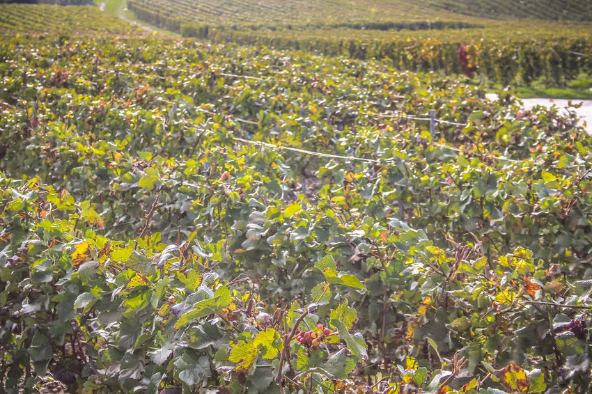 closeup of vineyard in Champagne France Champagne Champagne France Epernay Hills Natura Nature Pinot Noir Reims Vineyards  Day Growth Landscape Nature No People Outdoor Outdoors Pinot Scenery Scenics Vine Vine - Plant Vineyard Vineyard Cultivation