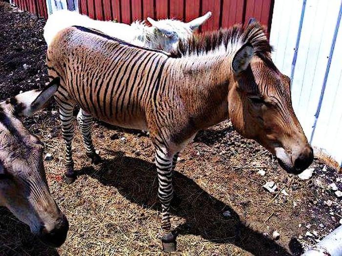 Zebra Donkey One Animal No People Mammal Outdoors Animal Themes Zebra Donkeys Strangeandunusual Strangeanimal First Eyeem Photo EyeEmNewHere Kansasoutdoors Kansasphotos Kansas