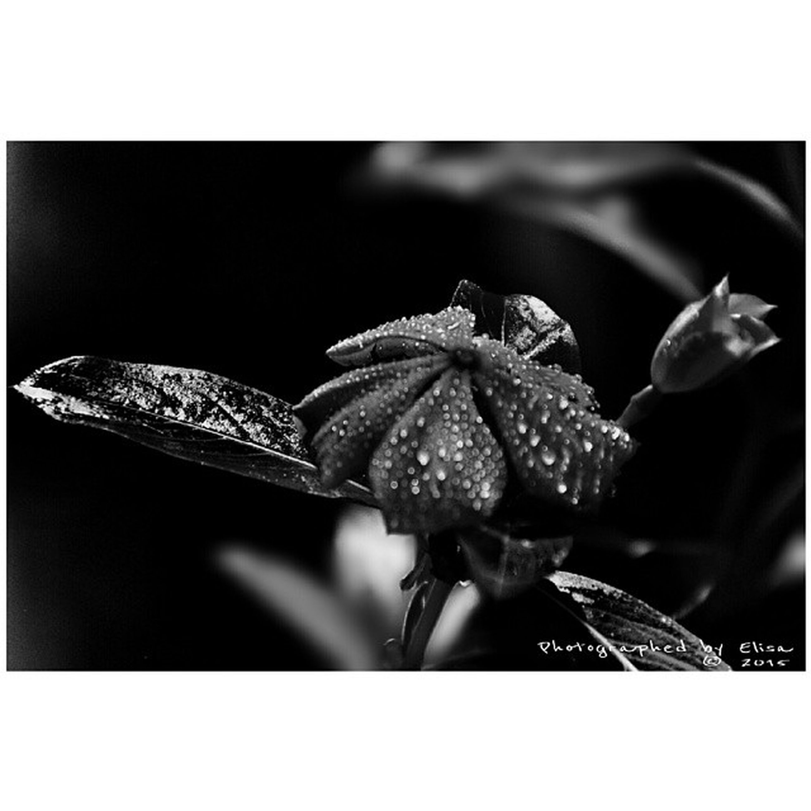transfer print, auto post production filter, close-up, focus on foreground, plant, fragility, nature, growth, no people, selective focus, flower, freshness, outdoors, beauty in nature, leaf, day, water, drop, studio shot