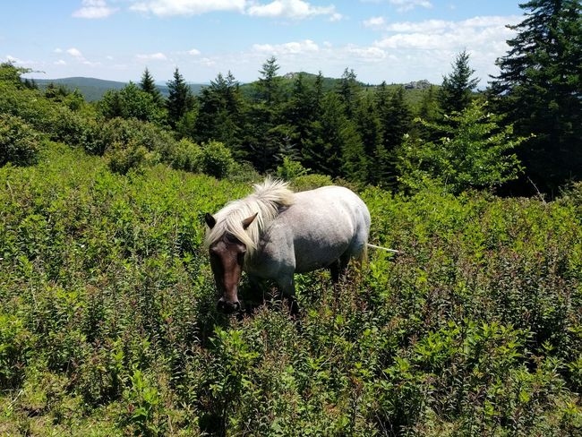 One Animal Animals In The Wild No People Nature Animal Wildlife Cloud - Sky Animal Themes Wild Horses Grayson Highlands National Park