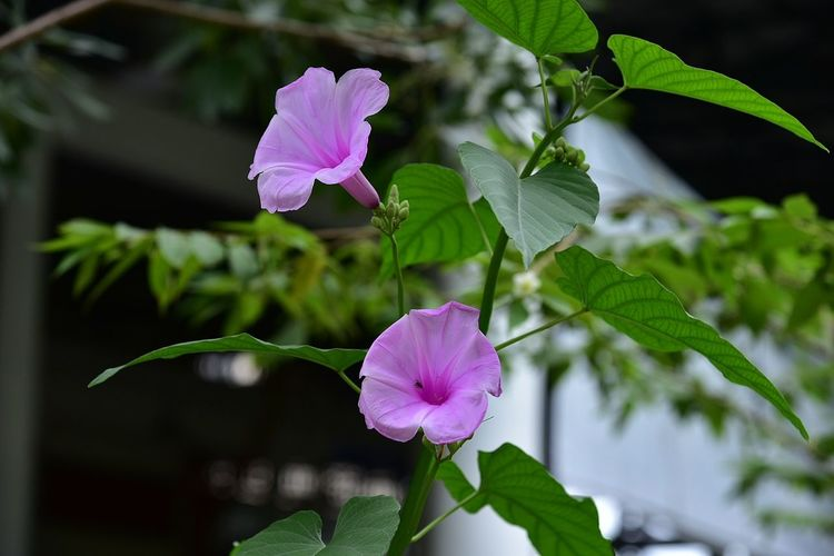 Flower Pink Color Nature Plant Petal Front Or Back Yard Fragility Blossom Close-up Beauty In Nature Flower Head Summer Purple Leaf Freshness No People Outdoors Day Springtime Multi Colored