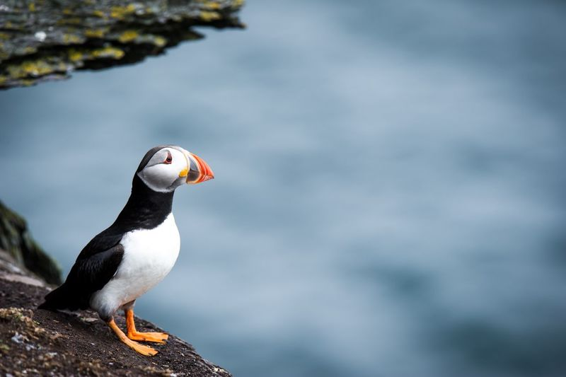 Animals Wildlife Photos EyeEm Nature Lover EyeEm EyeEm Best Shots Wildlife Photography Wildlife & Nature Wildlife Eye4photography  EyeEm Gallery EyeEmBestPics EyeEm Best Shots - Nature Puffin Ireland Skellig Islands Skelligmichael Bird