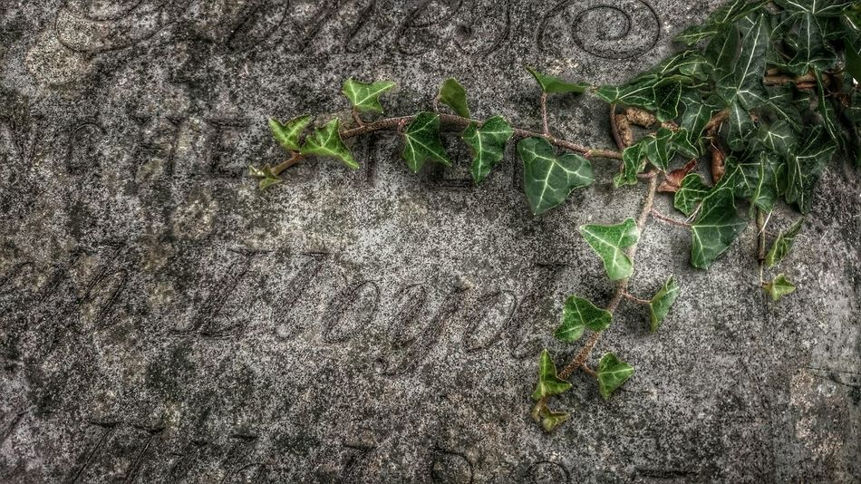Ivy Praising The Lord Ivy Leaves Headstone The Writings On The Wall AndroidPhotography Sony Xperia Z3 Snapseed Editing  Slate Name Leaves🌿 Time To Reflect Time Passes By Adapted To The City