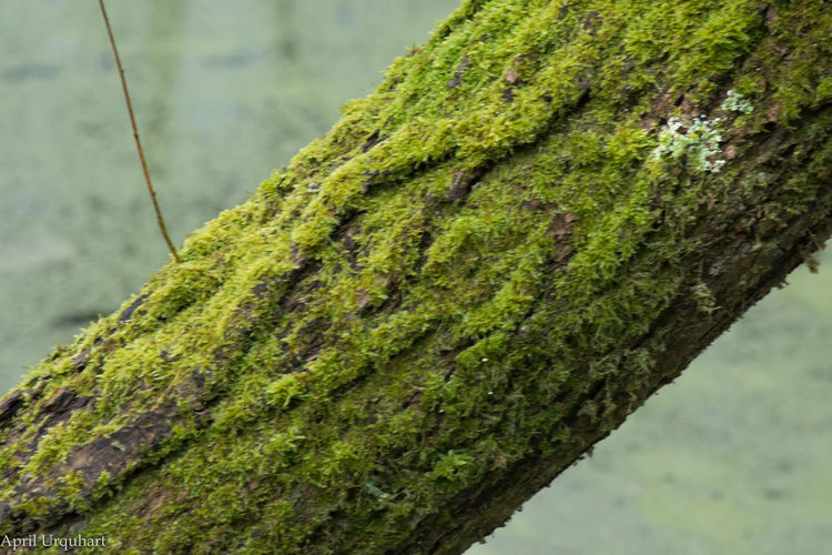 Tree moss Beauty In Nature Beauty In Nautre Close-up EyeEm Nature Lover Eyem Best Shots Nature_collection Green Color Growth Moss Nature Outdoors Textured  Tree Tree By The Water Edge Tree Trunk Water Meadow Winter Walk With My Dog
