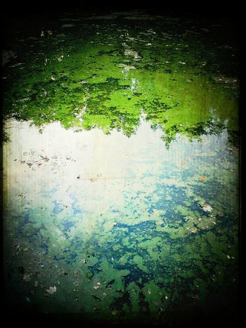 Trees and algae in the Pond
