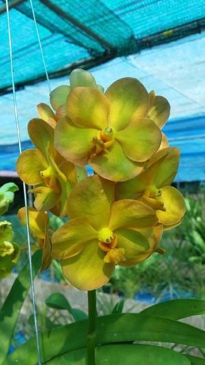 Orchid Flower Yellow Orchid Orchids Orchid Blossoms Orchid Flower Orchids Collection Orchid Flowers Orchids Garden Orchid Collection Orchid Blossoms Orchid Flower Orchids Nature Beauty In Nature Freshness Plant Petal Growth Leaf No People Fragility Day Outdoors Flower Head Green Color