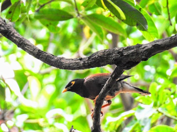 A Mynah perched on a tree branch Animal Themes Animals In The Wild Beauty In Nature Bird Branch Close-up Nature No People Outdoors Perching Tree