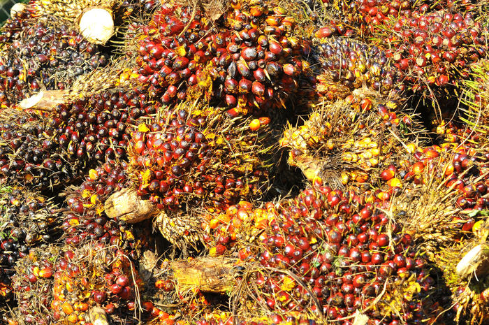 oil palm bunches Agriculture ASIA Bunch Commodity Cooking Cultivate Estate Fresh Fresh Fruit Bunch Frond Fruit Green Leaf Nut Oil Oil Palm Palm Palm Tree Plantation Raw Replanting Seed Thorn Tropical