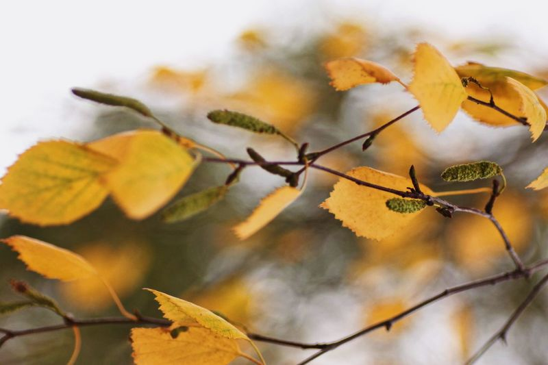 Getty Images Göteborg, Sweden Close-up Plant Autumn Nature Yellow Plant Part Focus On Foreground Leaf No People Change Dry Beauty In Nature Day Fragility Growth Vulnerability  Leaves Outdoors Selective Focus Orange Color