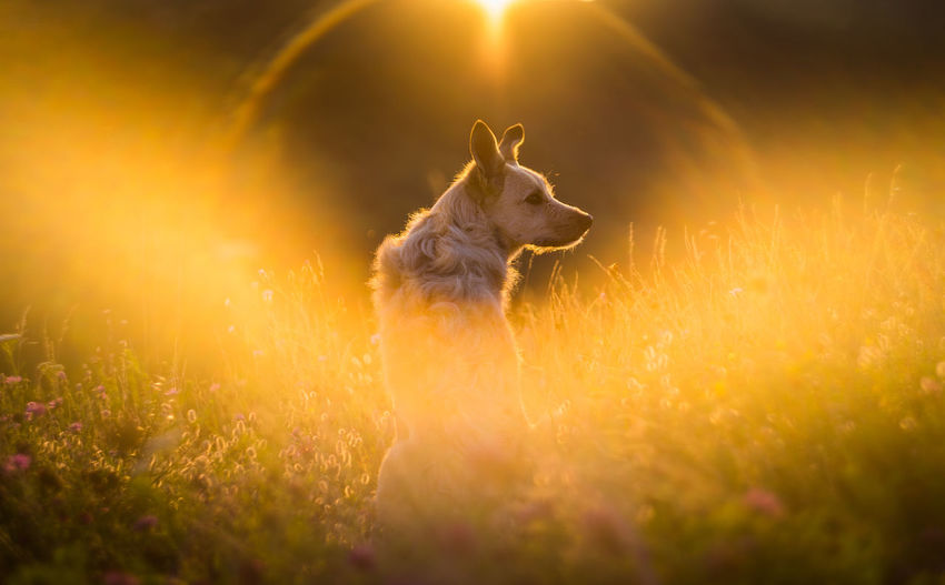 Dog on grass during sunset