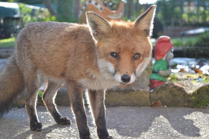 Animal Close-up Fox Fox Racing  Mammal Outdoors Urban Forest Wildlife