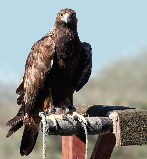 Close-up of eagle perching on wooden post