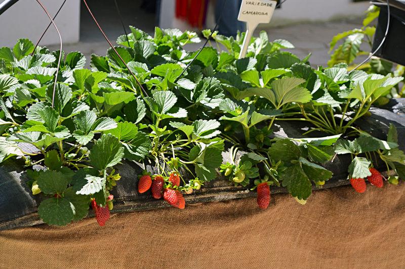 Strawberry Close-up Day Food Freshness Fruit Fruits Healthy Eating Morango Morangos Nature No People Organic Organic Food Organic Gardening Plant Red Strawberries Strawberry