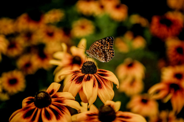 Butterfly On Yellow Coneflower