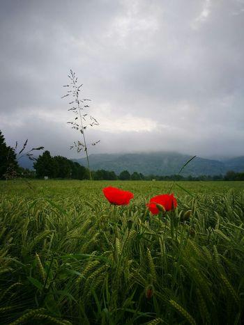 Klatschmohn 🍀 Feld Natur Wolken Nebel Berge Outdoor Getreide