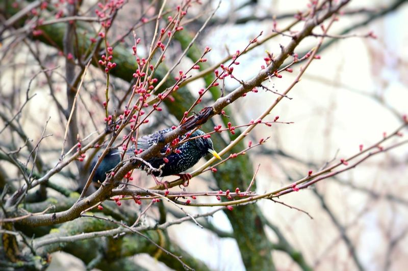 Nature Branch Beauty In Nature Starling Starling Bird Starlings In A Tree Apricot Tree Spring Time Spring Morning Freshness Growth Beauty In Nature Springtime Pink Color Tree Bird Pink Flower Animal Themes Perching Black Color Living Organism Songbird