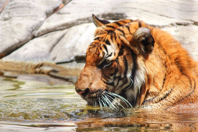 Close-up of tiger swimming in lake