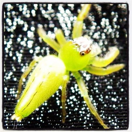 Lime Green Jumping spider!!