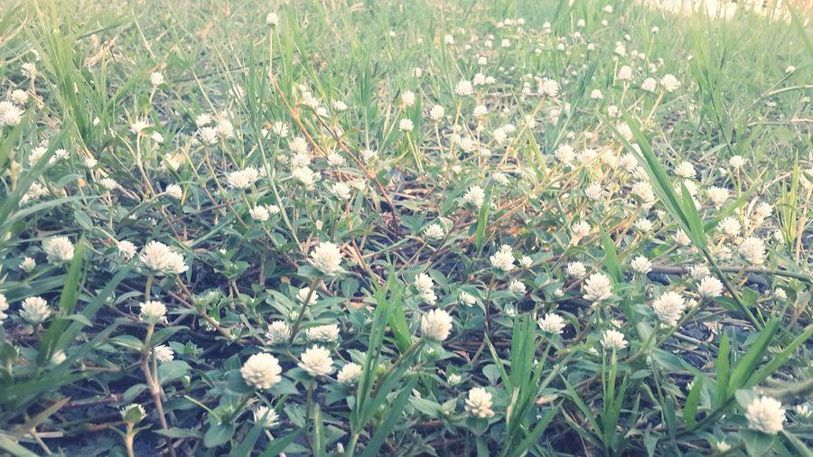 ดอกหญ้า Nature Growth Beauty In Nature Plant No People Fragility Outdoors Field Day Flower Tree Grass Close-up