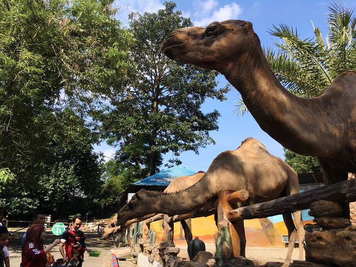 Camels at Johor Bahru Zoo Zoo Animal Camel Wildlife Non Edited IPhoneography First Eyeem Photo