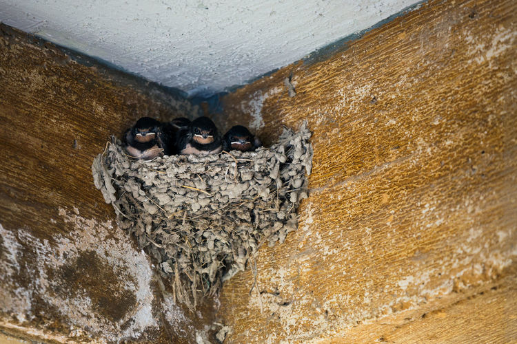 "The ""beagle boys"" - a nest of smart looking swallows Greece Travel Destinations Outdoors Crete Greece Mediterranean  Summer Nature Swallows Animal Themes Animals Crete Smart Looking Looking At Camera Nest Nesting Birds Birds Birds Of EyeEm  Nesting Place"