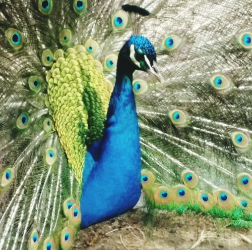 Pavone Multicolors  Animals In The Wild Beauty In Nature Nature Blue One Animal