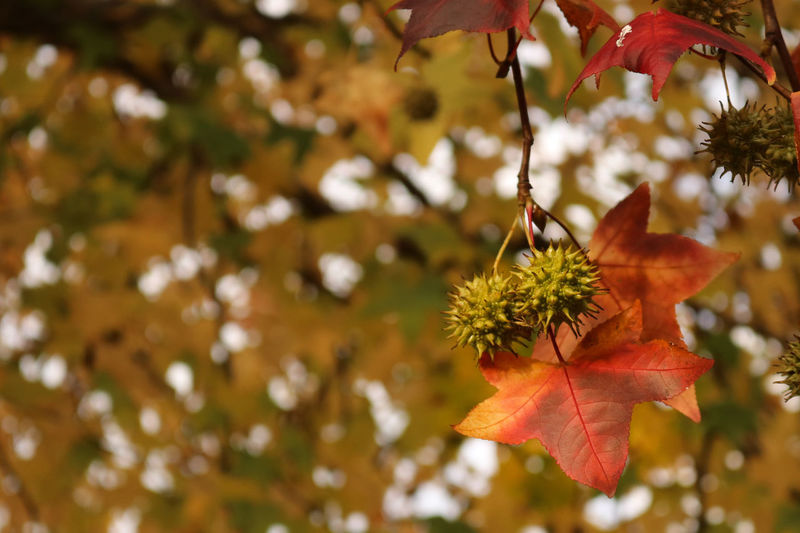 Autumn Leaf Tree Branch Change Focus On Foreground Day No People Nature Outdoors Maple Tree Growth Plant Beauty In Nature Close-up