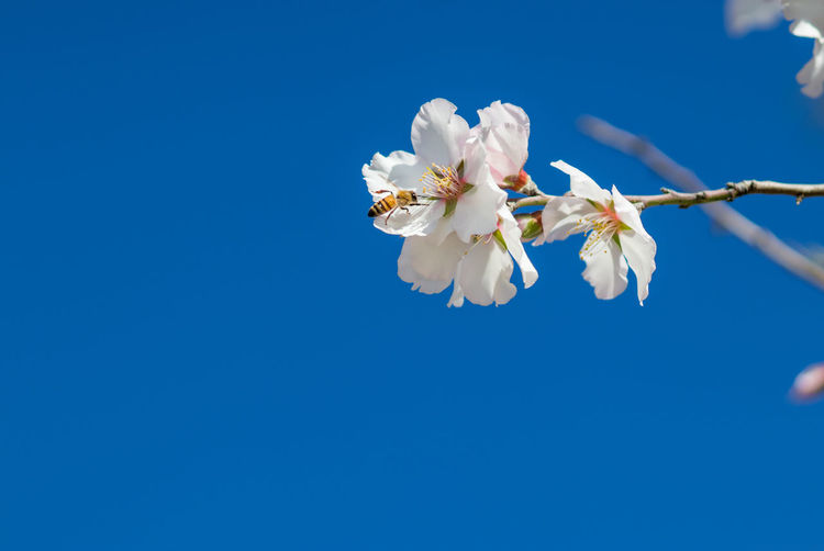 Close-up of white cherry blossoms against blue sky