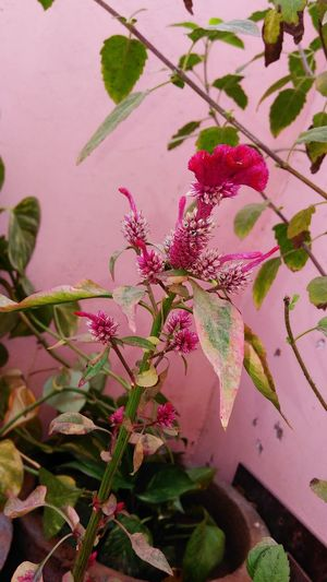 Close-up of pink flowers on plant