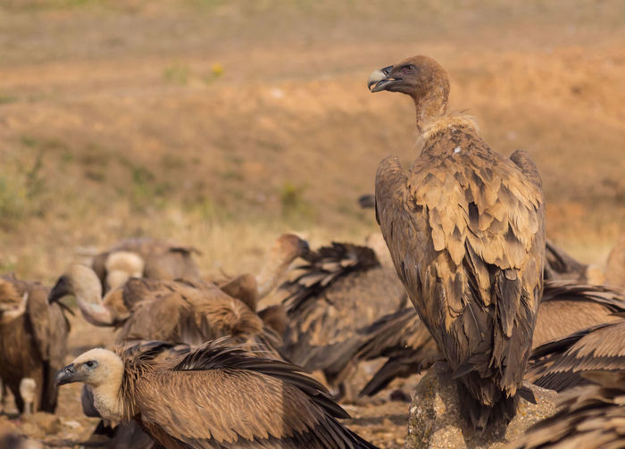 View Of Vultures On Field