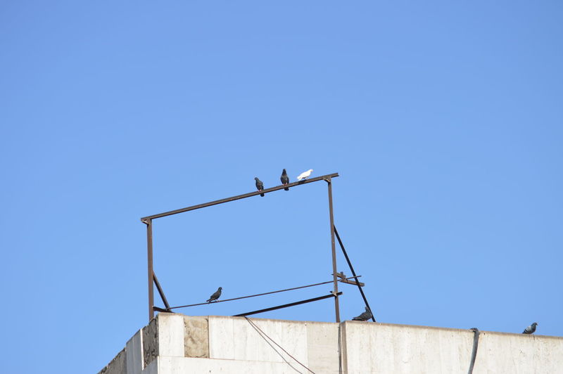 Low angle view of birds on building against clear blue sky
