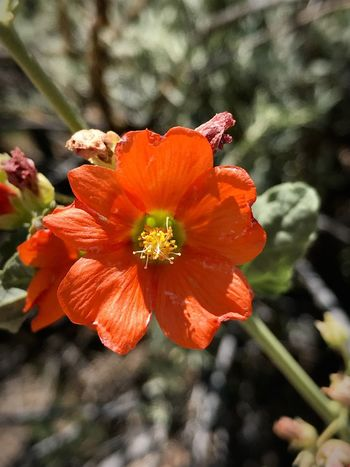 """""""I Miss You Already"""" Summer is gone only nine days now but I am already missing the glory of nature the monsoons of 2018 brought to New Mexico. New Mexico New Mexico Photography End Of Summer Monsoonseason Nature Flower Fragility Vulnerability  Petal Freshness Beauty In Nature Close-up Orange Color Focus On Foreground"""