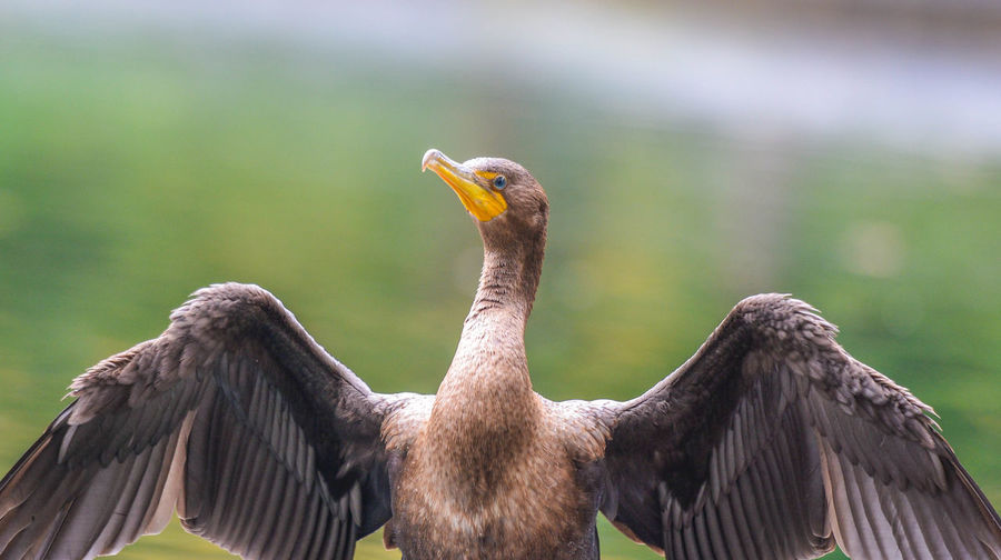 Close-up of the unique cormorant.