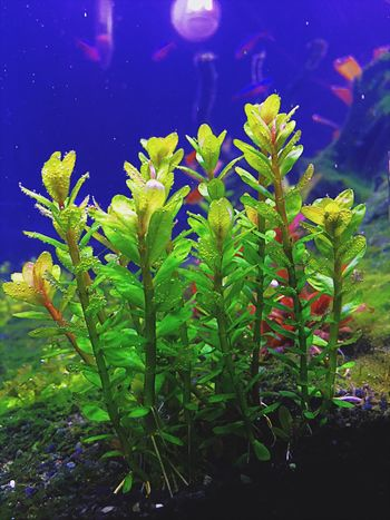 Rotala Bonsai Rotala Bonsai Plant Nature Green Color Aquarium Aquaplants Aquascaping Fotosession Photography Aquarium Photography Aquascutum