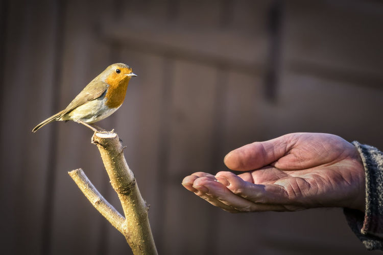 896 - 20170127 Robin Animal Wildlife Animals In The Wild Bird Close-up Day Finger Focus On Foreground Hand Holding Human Body Part Human Hand Human Limb Lifestyles Men One Animal One Person Outdoors Perching Real People Robin Vertebrate