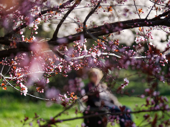 Plant Tree Branch Flower Growth Flowering Plant Fragility Blossom Freshness Beauty In Nature Springtime Vulnerability  Nature Day Pink Color Selective Focus Cherry Blossom No People Park Focus On Foreground Outdoors Cherry Tree Plum Blossom Spring