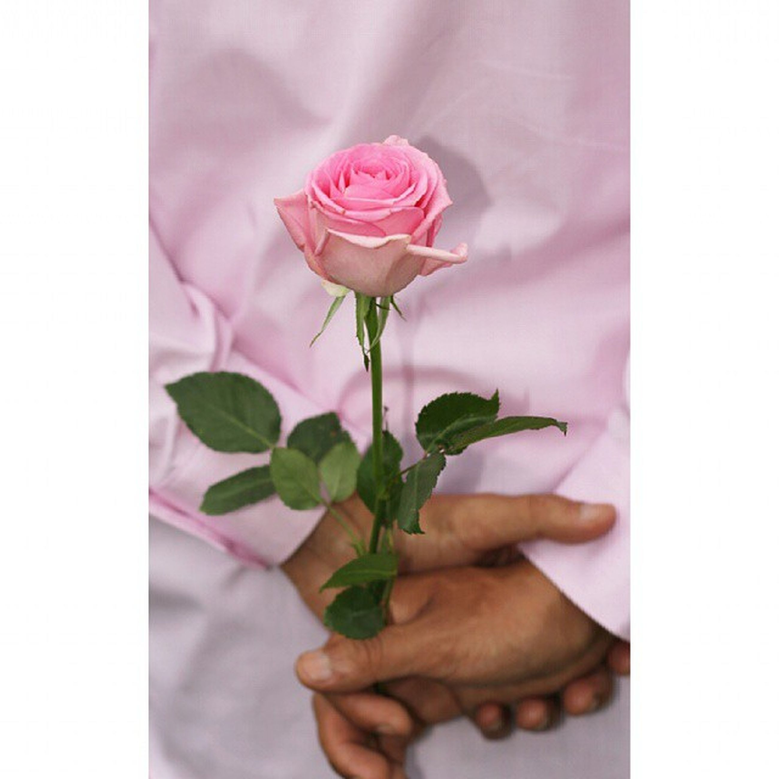 flower, person, freshness, petal, holding, fragility, flower head, indoors, close-up, part of, rose - flower, cropped, vase, beauty in nature, pink color, single flower, bouquet