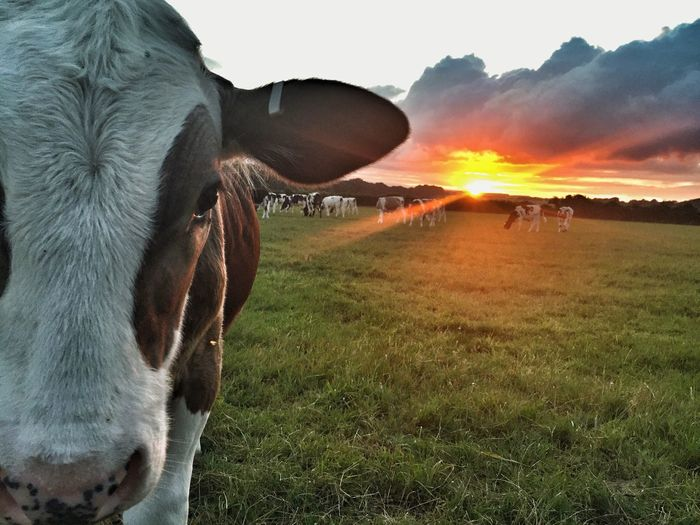 Livestock Sunset Animal Themes Pasture Agriculture Nature Sky Beauty In Nature First Eyeem Photo