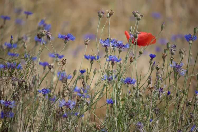 Flower Vulnerability  Fragility Beauty In Nature Land Close-up Field Petal Nature Selective Focus Flower Head Poppy Meadow Meadow Flowers Fieldscape Field Scenics - Nature Lovely Beauty In Ordinary Things Beautiful Nature Beautiful Nature_collection Nature Photography Naturelovers EyeEm Nature Lover EyeEm Gallery Eye4photography  Walking Around Taking Pictures Flower Collection Flower Photography Flowers, Nature And Beauty Growth Plant Freshness Flowering Plant Tranquility Tranquil Scene Harmony