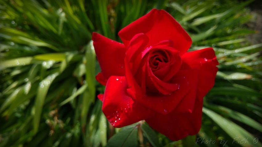 Taking Photos Enjoying Life Facebook.com/photobyrich Green Rose🌹 Rose - Flower Photography Facebook Photo By Rich Rose Garden Flower Garden Red Relaxing Pure