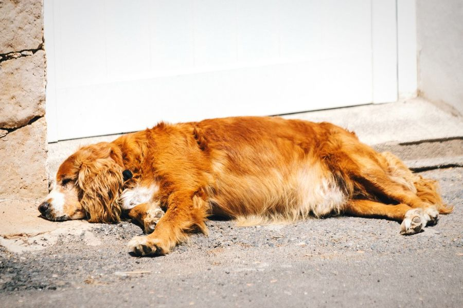Nap time Nap Nap Time Dog Domestic Animals Pet Sleeping Sleeping Dog Resting Animal Themes Animals Lying Down Lying On The Floor Fuerteventura Canary Islands Summertime Siesta Powernap No People Open Edit Goldenretriever Big Dog Dogs Dog Love Mammal Relaxing