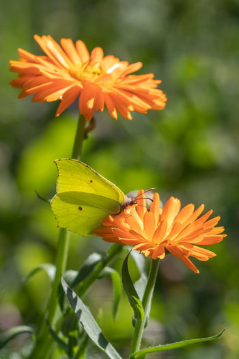 Calendula Officinalis Animal Wing Beauty In Nature Butterfly - Insect Calendula Close-up Common Brimstone Flower Flower Head Flowering Plant Focus On Foreground Gonepteryx Rhamni Insect No People One Animal Petal
