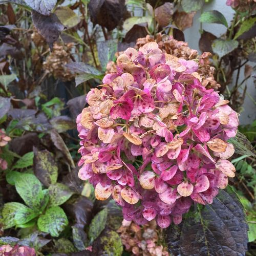 Gothic Flower Nature Pink Color Beauty In Nature Fragility Petal No People Leaf Hydrangea Nature Autumn