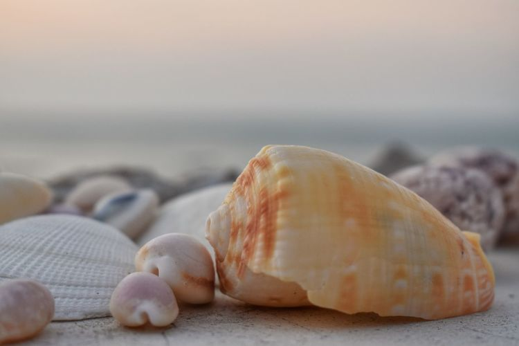 Sea Shell Beach Close-up Land Seashell No People Water Animal Wildlife Solid Animal Shell Nature Rock Beauty In Nature Focus On Foreground Sand Day Tranquility Sky Selective Focus Outdoors Horizon Over Water Pebble Marine Surface Level