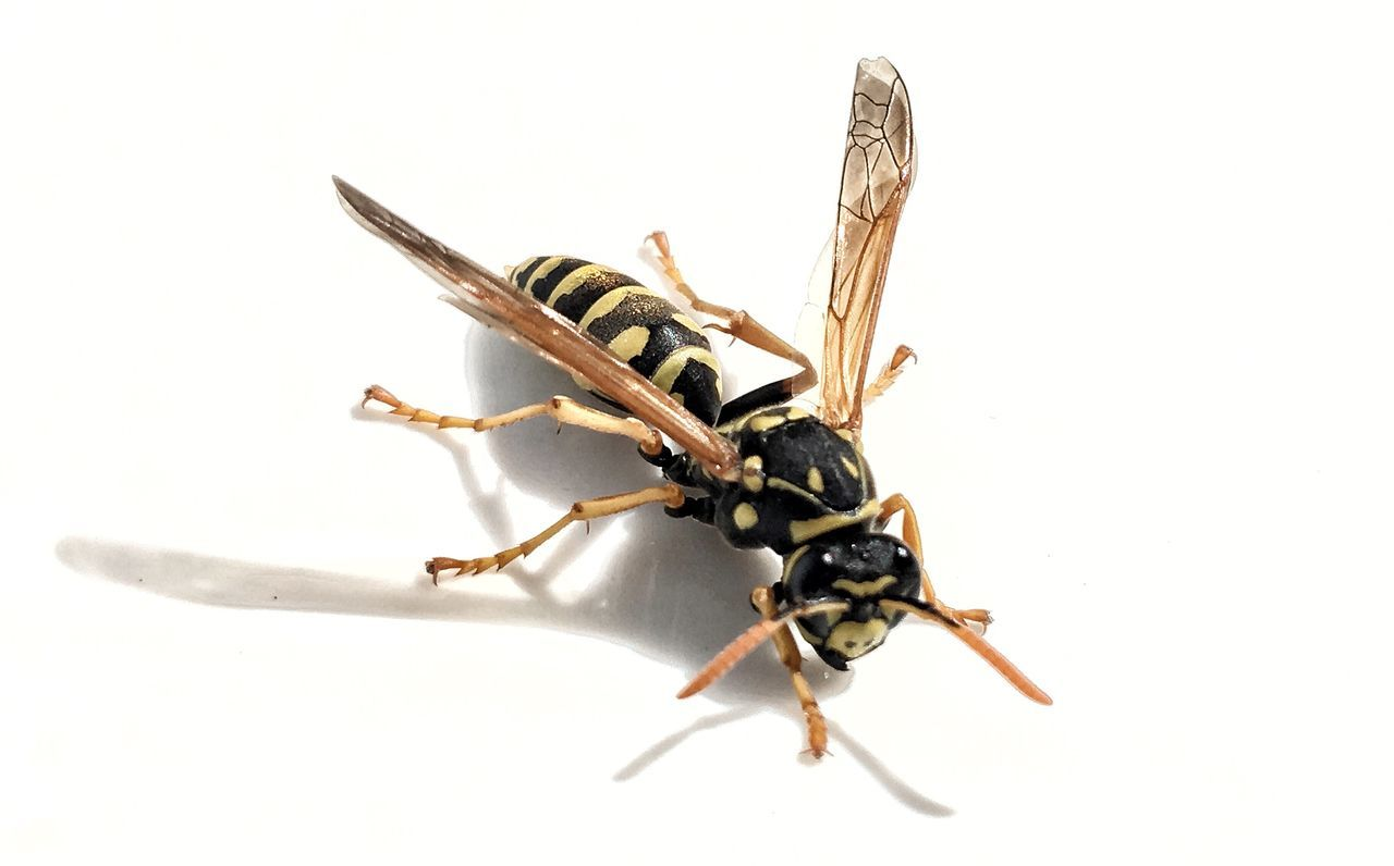 insect, white background, animal themes, studio shot, animals in the wild, close-up, no people, day, outdoors