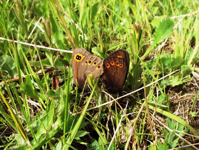 Animal Themes Animal Wildlife Animals In The Wild Beauty In Nature Butterflies Butterfly - Insect Close-up Field Fragility Grass Insect Mating Mating Pair Of Butterfly Nature Outdoors Plant