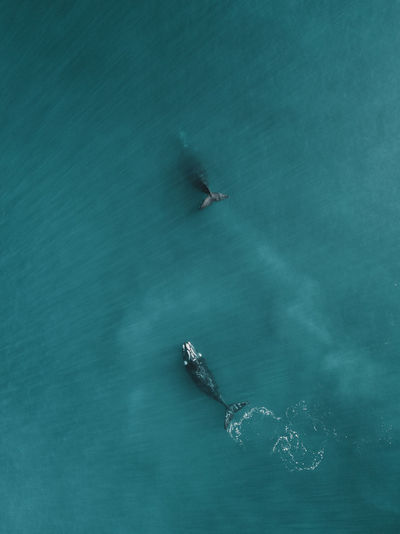 High angle view of southern right whales swimming in sea