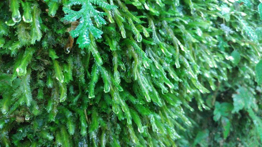 Musgo Green Color Moss Musgo Rainforest Raindrops Orocovis Puerto Rico Bosquetoronegro