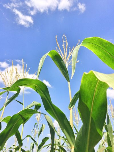 Growth Sky Nature Leaf Plant Beauty In Nature corn ข้าวโพด corn